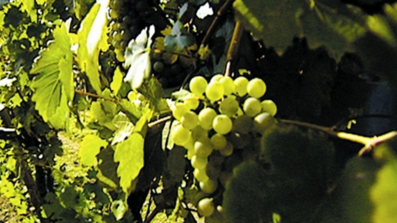 Происхождение вина