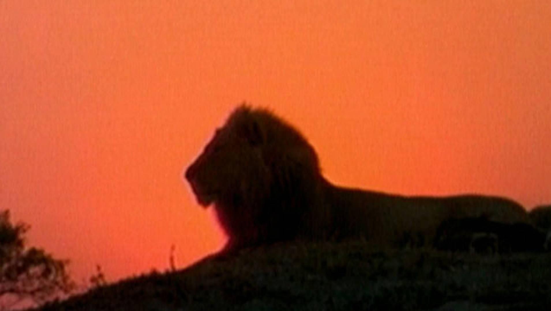 Львы атакуют - Документальный фильм