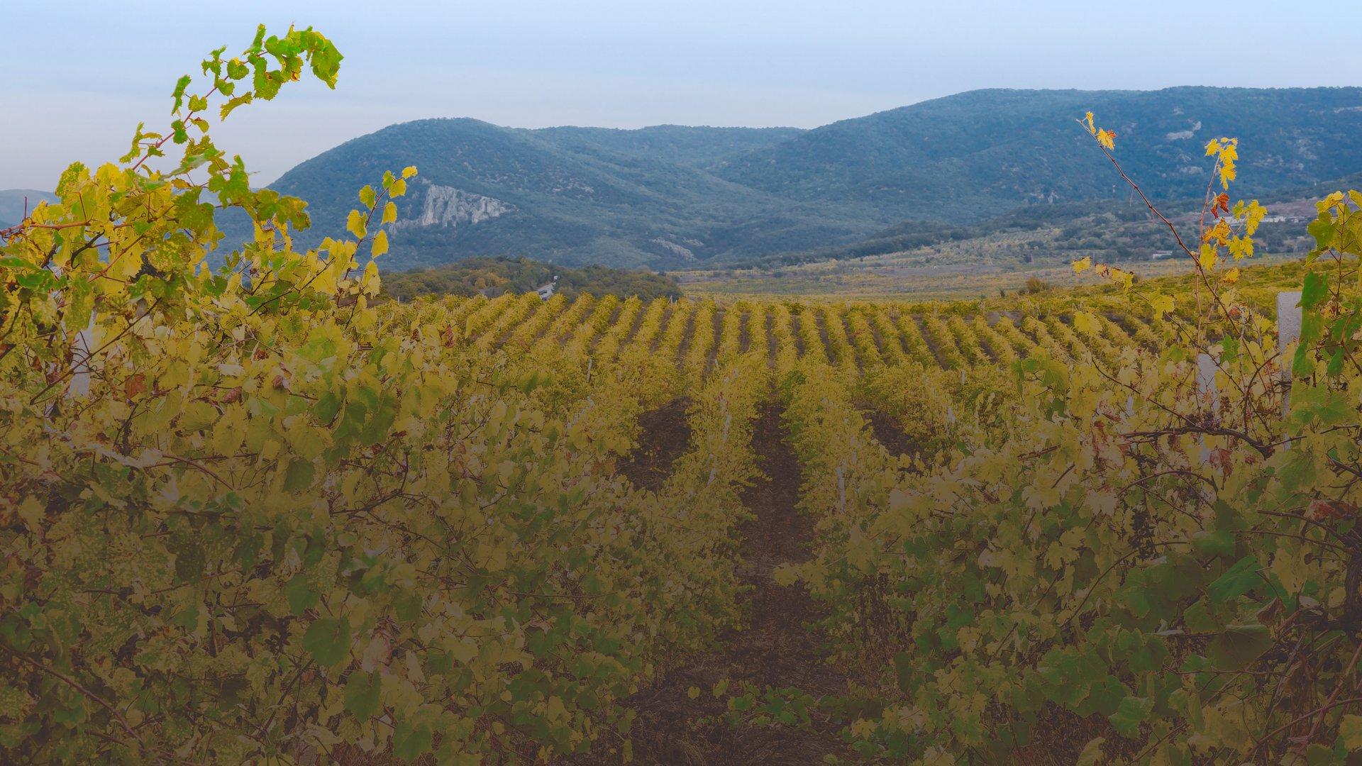 Виноградники «Золотой Балки». Фото:  Andrew Koturanov / Shuttestock