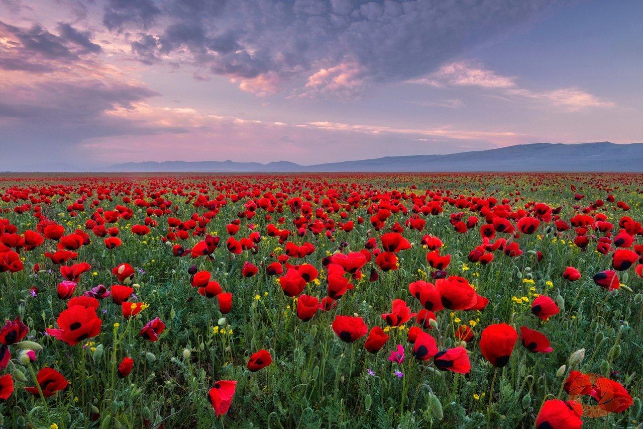 Весной поля Дагестана горят яркими красками расцветающих маков. Окрестности Махачкалы, Республика Дагестан.  Автор: Андрей Грачёв