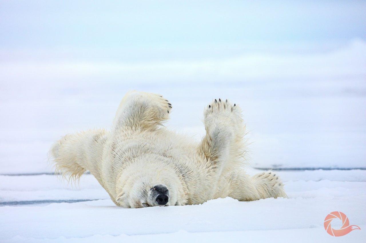 Белый медведь после пребывания в воде обязательно должен избавиться от влаги в шерсти. Для этого он катается по земле и выдавливает воду своей массой. Земля Франца-Иосифа, национальный парк «Русская Арктика». Автор — Николай Гермет