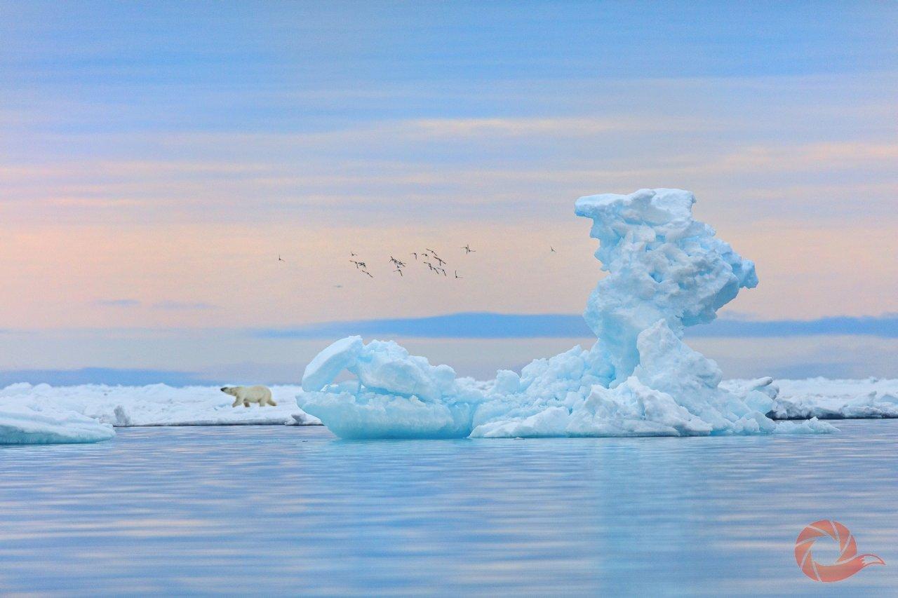 Белый медведь гуляет по дрейфующему льду на фоне айсберга. Земля Франца-Иосифа, национальный парк «Русская Арктика». Автор — Николай Гернет