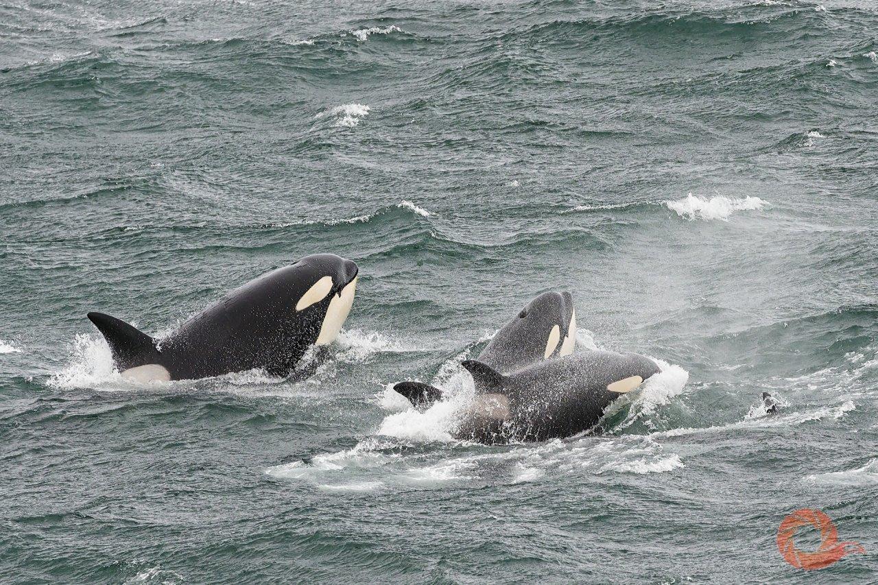 Семья косаток (всего 11 животных) охотится на самку серого кита с детёнышем и в итоге убивает детёныша, утопив его. Берингов пролив, неподалеку от берега Лаврентия. Автор — Штеффен Граупнер