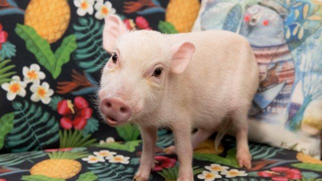 В новых выпусках программы «Хот Пиг» — свежие идеи для вегетарианцев и диетические блюда для… питомцев!