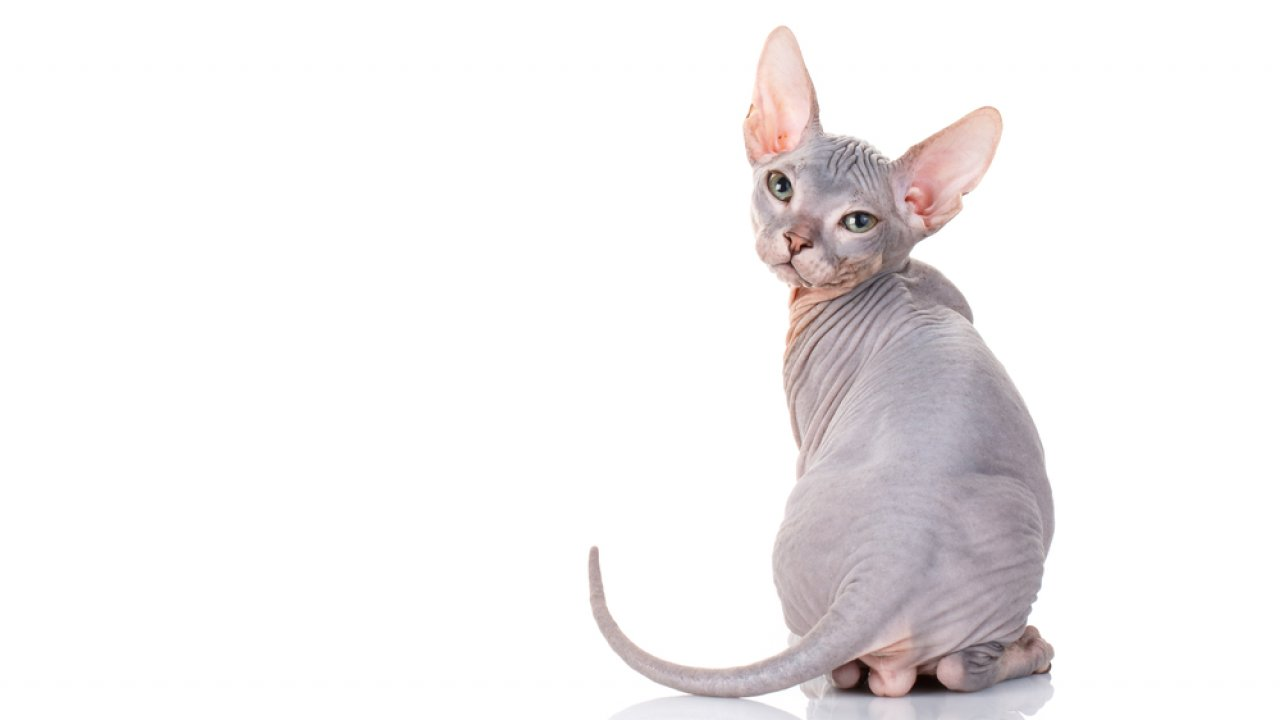 ТЕСТ: Угадайте породу кошки!