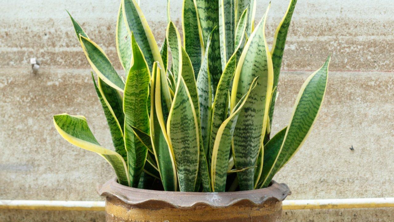 [[image:13]] ТЕСТ: Как называется это неприхотливое комнатное растение?
