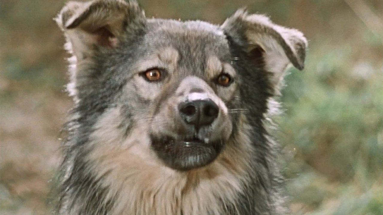 ТЕСТ: Угадайте собак из известных фильмов!