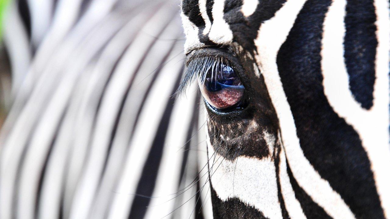 Полосатый тест. Много ли вы знаете о зебрах?