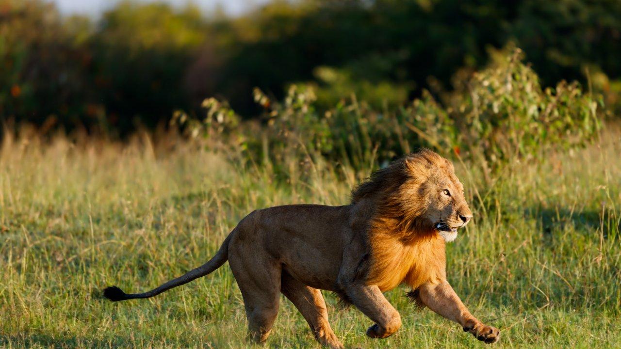 Тест. Настоящий царь зверей! Что вы знаете о львах?