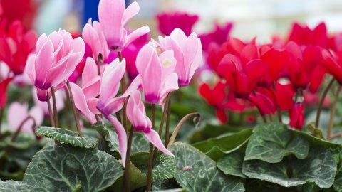 ТЕСТ: Угадайте цветущее комнатное растение!